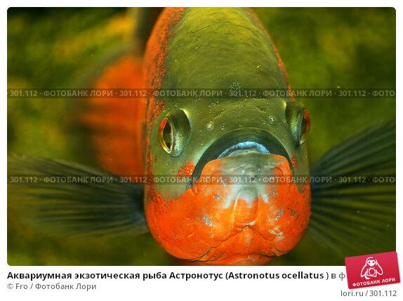 Аквариумная экзотическая рыба Астронотус (Astronotus ocellatus ) в фас, фото № 301112, снято 22 августа 2007 г. (c) Fro / Фотобанк Лори