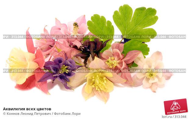 Аквилегия всех цветов, фото № 313044, снято 6 июня 2008 г. (c) Коннов Леонид Петрович / Фотобанк Лори
