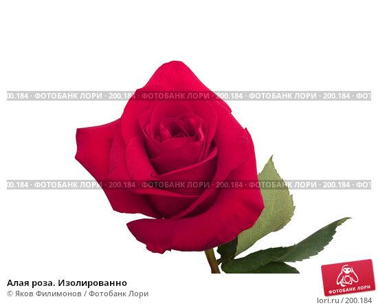 Алая роза. Изолированно, фото № 200184, снято 8 февраля 2008 г. (c) Яков Филимонов / Фотобанк Лори