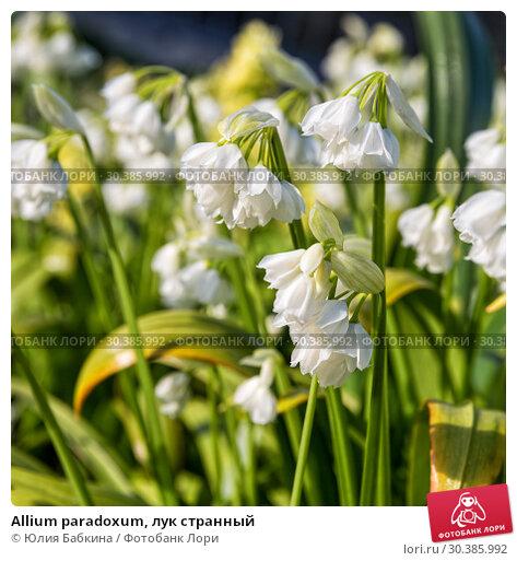 Купить «Allium paradoxum, лук странный», фото № 30385992, снято 11 мая 2015 г. (c) Юлия Бабкина / Фотобанк Лори