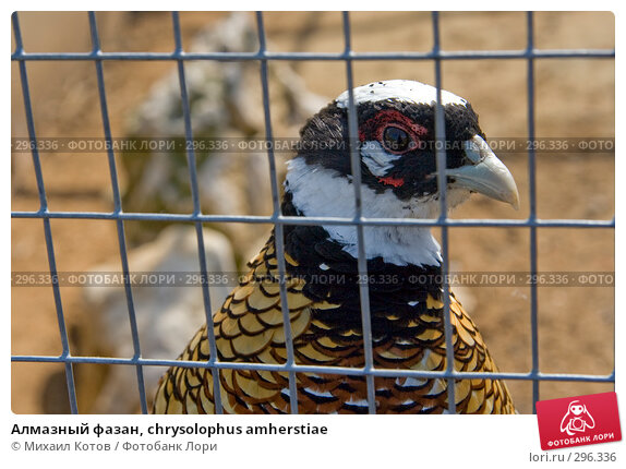 Купить «Алмазный фазан, chrysolophus amherstiae», фото № 296336, снято 13 мая 2008 г. (c) Михаил Котов / Фотобанк Лори