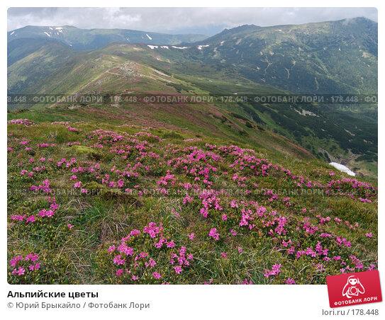 Купить «Альпийские цветы», фото № 178448, снято 27 июня 2005 г. (c) Юрий Брыкайло / Фотобанк Лори