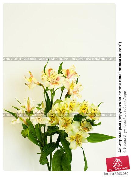 """Альстромерия (перуанская лилия или """"лилия инков""""), фото № 203080, снято 15 февраля 2008 г. (c) Ирина Игумнова / Фотобанк Лори"""
