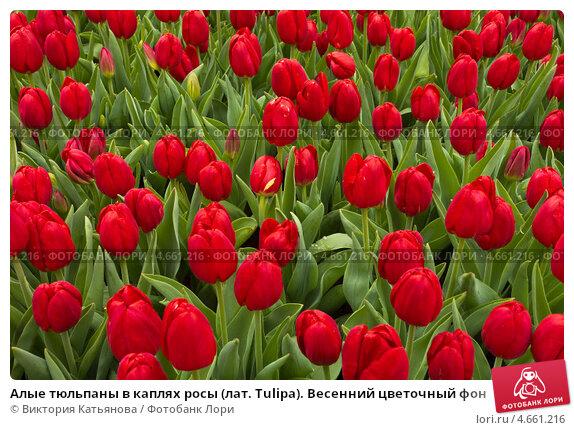 Купить «Алые тюльпаны в каплях росы (лат. Tulipa). Весенний цветочный фон», фото № 4661216, снято 12 апреля 2013 г. (c) Виктория Катьянова / Фотобанк Лори