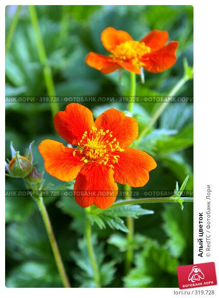 Купить «Алый цветок», фото № 319728, снято 9 июня 2008 г. (c) RedTC / Фотобанк Лори