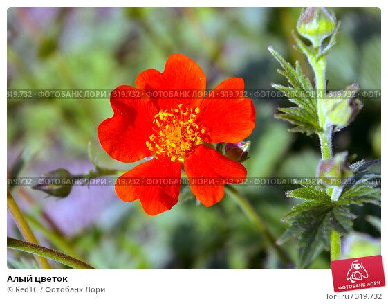 Алый цветок, фото № 319732, снято 9 июня 2008 г. (c) RedTC / Фотобанк Лори
