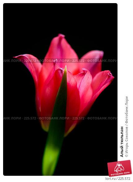 Алый тюльпан, фото № 225572, снято 10 марта 2008 г. (c) Игорь Соколов / Фотобанк Лори
