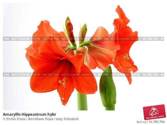 Купить «Amaryllis Hippeastrum hybr», фото № 16785704, снято 23 ноября 2007 г. (c) easy Fotostock / Фотобанк Лори