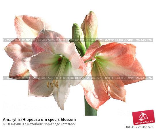 Купить «Amaryllis (Hippeastrum spec.), blossom», фото № 26443576, снято 22 мая 2019 г. (c) age Fotostock / Фотобанк Лори