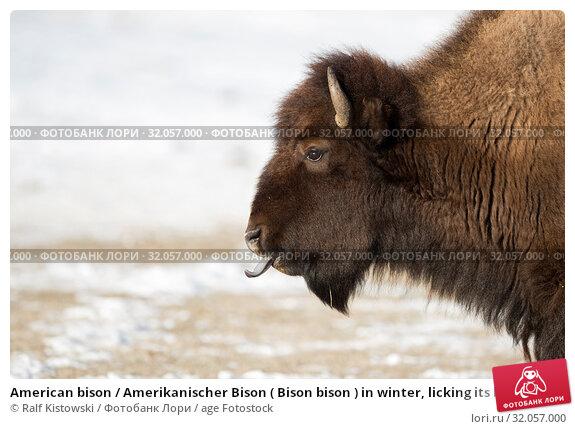 American bison / Amerikanischer Bison ( Bison bison ) in winter, licking its blue tongue, headshot, Yellowstone National Park, Wyoming, USA.. Стоковое фото, фотограф Ralf Kistowski / age Fotostock / Фотобанк Лори