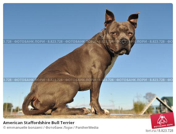 Купить «American Staffordshire Bull Terrier», фото № 8823728, снято 16 сентября 2019 г. (c) PantherMedia / Фотобанк Лори