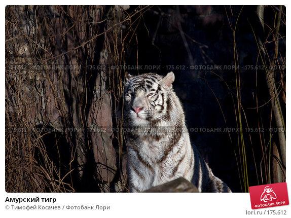 Амурский тигр, фото № 175612, снято 3 января 2008 г. (c) Тимофей Косачев / Фотобанк Лори