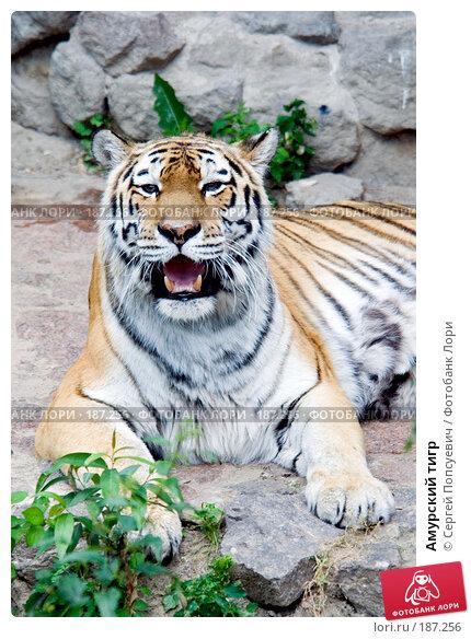 Купить «Амурский тигр», фото № 187256, снято 1 июля 2007 г. (c) Сергей Попсуевич / Фотобанк Лори