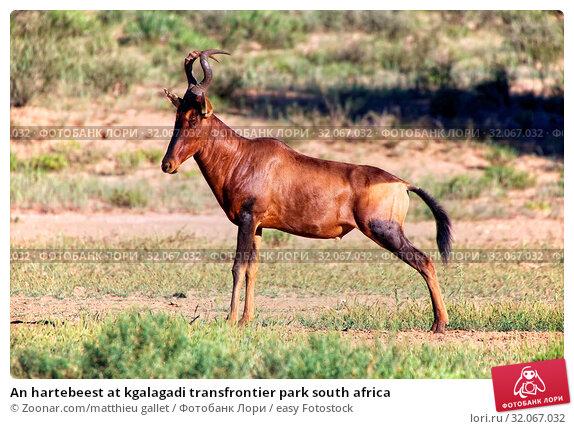 An hartebeest at kgalagadi transfrontier park south africa. Стоковое фото, фотограф Zoonar.com/matthieu gallet / easy Fotostock / Фотобанк Лори
