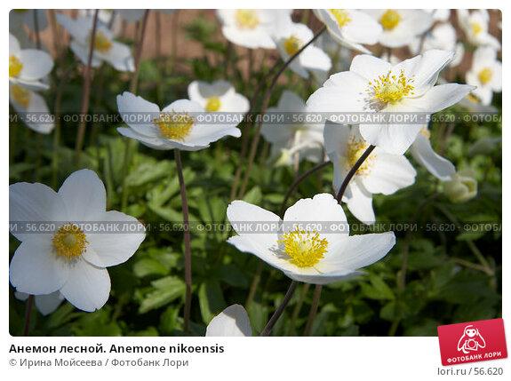 Анемон лесной. Anemone nikoensis, эксклюзивное фото № 56620, снято 12 мая 2007 г. (c) Ирина Мойсеева / Фотобанк Лори
