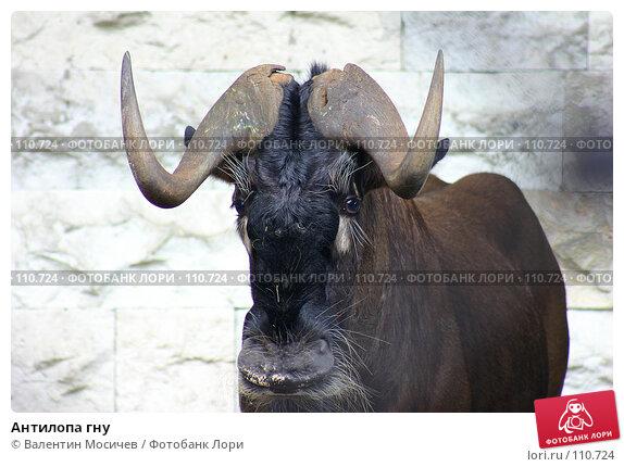 Купить «Антилопа гну», фото № 110724, снято 31 июля 2004 г. (c) Валентин Мосичев / Фотобанк Лори