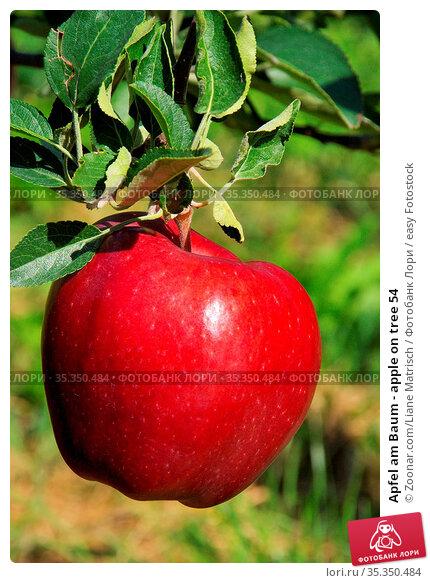 Apfel am Baum - apple on tree 54. Стоковое фото, фотограф Zoonar.com/Liane Matrisch / easy Fotostock / Фотобанк Лори