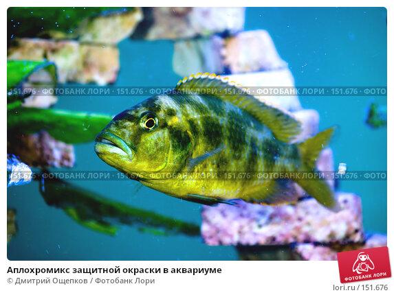 Аплохромикс защитной окраски в аквариуме, фото № 151676, снято 17 марта 2007 г. (c) Дмитрий Ощепков / Фотобанк Лори