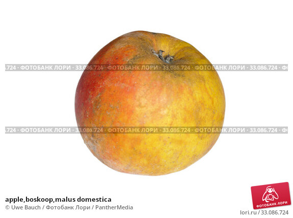 Купить «apple,boskoop,malus domestica», фото № 33086724, снято 18 февраля 2020 г. (c) PantherMedia / Фотобанк Лори