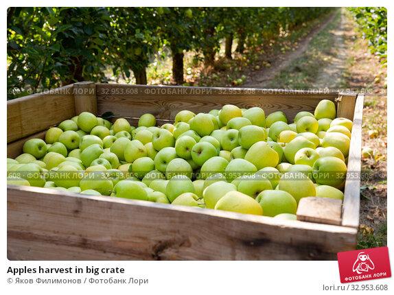 Apples harvest in big crate. Стоковое фото, фотограф Яков Филимонов / Фотобанк Лори