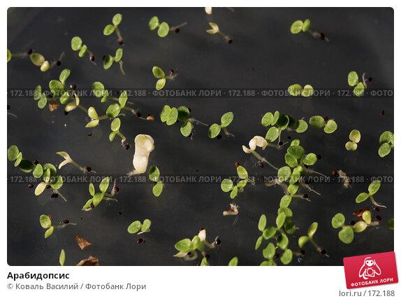 Купить «Арабидопсис», фото № 172188, снято 6 декабря 2007 г. (c) Коваль Василий / Фотобанк Лори