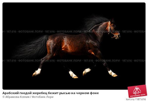 Арабский гнедой жеребец бежит рысью на черном фоне, фото № 187616, снято 28 апреля 2007 г. (c) Абрамова Ксения / Фотобанк Лори