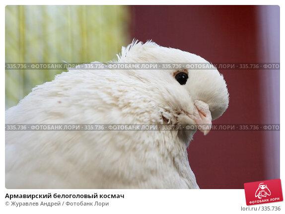 Армавирский белоголовый космач, эксклюзивное фото № 335736, снято 4 мая 2008 г. (c) Журавлев Андрей / Фотобанк Лори