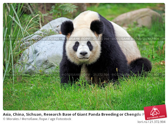 a research on different articles on the genomes of the giant panda