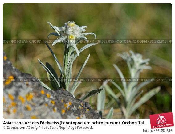 Asiatische Art des Edelweiss (Leontopodium ochroleucum), Orchon-Tal... Стоковое фото, фотограф Zoonar.com/Georg / age Fotostock / Фотобанк Лори