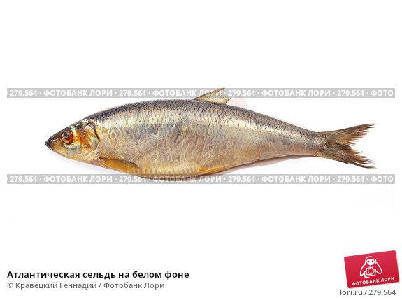Купить «Атлантическая сельдь на белом фоне», фото № 279564, снято 18 сентября 2005 г. (c) Кравецкий Геннадий / Фотобанк Лори