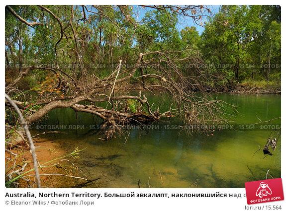 Australia, Northern Territory. Большой эвкалипт, наклонившийся над озером с горячей водой из термальных источников., фото № 15564, снято 8 января 2007 г. (c) Eleanor Wilks / Фотобанк Лори