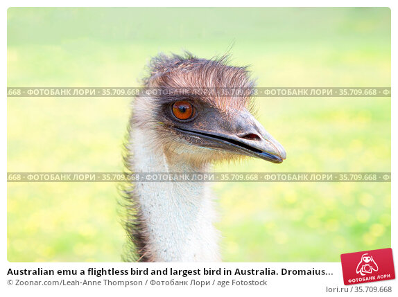 Australian emu a flightless bird and largest bird in Australia. Dromaius... Стоковое фото, фотограф Zoonar.com/Leah-Anne Thompson / age Fotostock / Фотобанк Лори