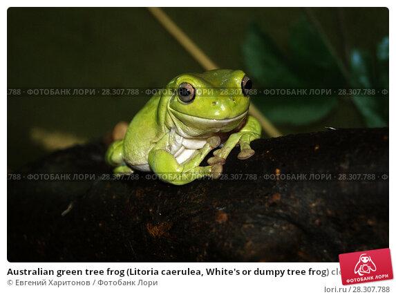 Купить «Australian green tree frog (Litoria caerulea, White's or dumpy tree frog) closeup on a dark background», фото № 28307788, снято 30 марта 2014 г. (c) Евгений Харитонов / Фотобанк Лори