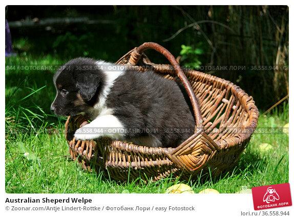 Australian Sheperd Welpe. Стоковое фото, фотограф Zoonar.com/Antje Lindert-Rottke / easy Fotostock / Фотобанк Лори