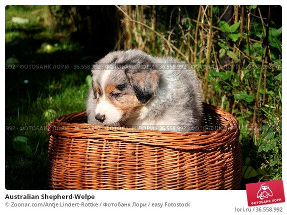Australian Shepherd-Welpe. Стоковое фото, фотограф Zoonar.com/Antje Lindert-Rottke / easy Fotostock / Фотобанк Лори
