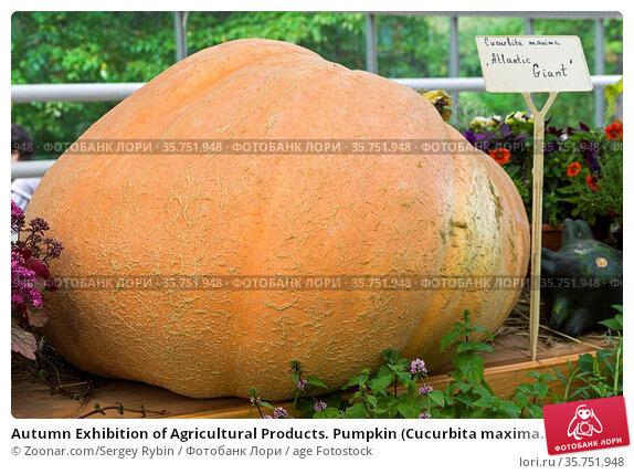 Autumn Exhibition of Agricultural Products. Pumpkin (Cucurbita maxima... Стоковое фото, фотограф Zoonar.com/Sergey Rybin / age Fotostock / Фотобанк Лори