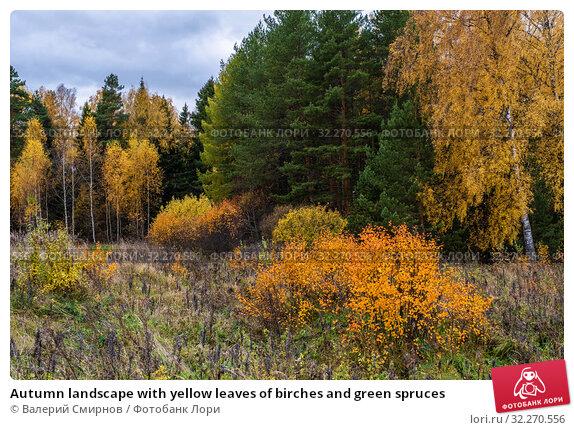 Купить «Autumn landscape with yellow leaves of birches and green spruces», фото № 32270556, снято 5 октября 2019 г. (c) Валерий Смирнов / Фотобанк Лори