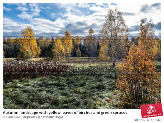 Купить «Autumn landscape with yellow leaves of birches and green spruces», фото № 32270560, снято 5 октября 2019 г. (c) Валерий Смирнов / Фотобанк Лори