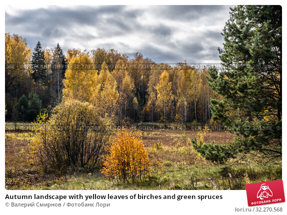 Купить «Autumn landscape with yellow leaves of birches and green spruces», фото № 32270568, снято 5 октября 2019 г. (c) Валерий Смирнов / Фотобанк Лори