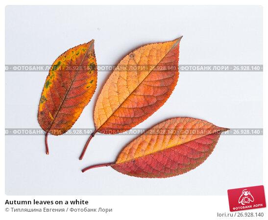 Купить «Autumn leaves on a white», фото № 26928140, снято 10 ноября 2016 г. (c) Типляшина Евгения / Фотобанк Лори