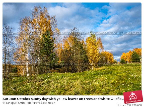 Купить «Autumn October sunny day with yellow leaves on trees and white wildflowers», фото № 32270608, снято 5 октября 2019 г. (c) Валерий Смирнов / Фотобанк Лори