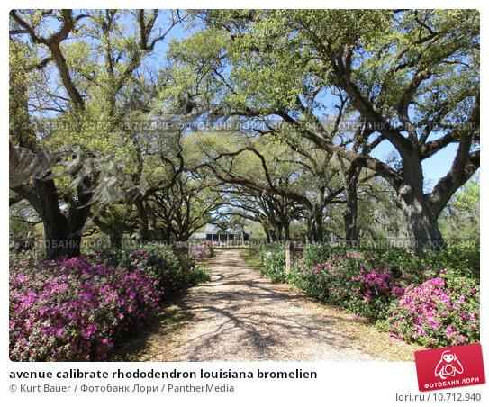 Купить «avenue calibrate rhododendron louisiana bromelien», фото № 10712940, снято 25 апреля 2019 г. (c) PantherMedia / Фотобанк Лори