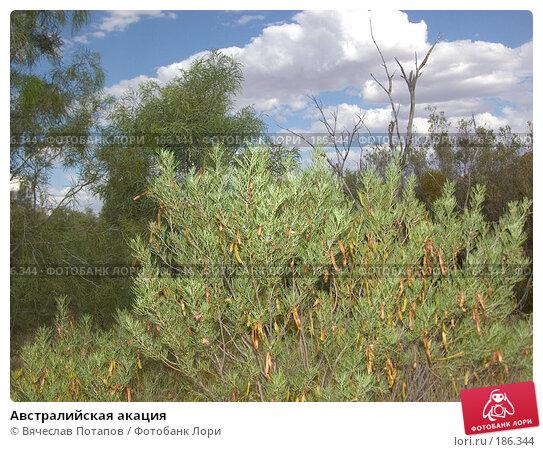 Австралийская акация, фото № 186344, снято 13 октября 2006 г. (c) Вячеслав Потапов / Фотобанк Лори
