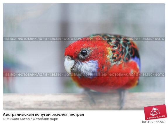 Австралийский попугай розелла пестрая, фото № 136560, снято 15 апреля 2007 г. (c) Михаил Котов / Фотобанк Лори