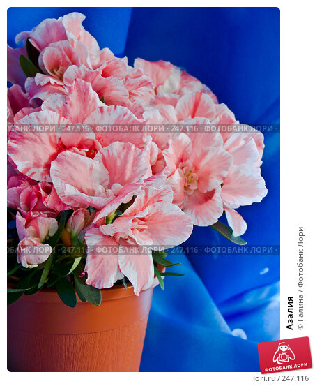 Азалия, фото № 247116, снято 10 апреля 2008 г. (c) Галина Щеглова / Фотобанк Лори