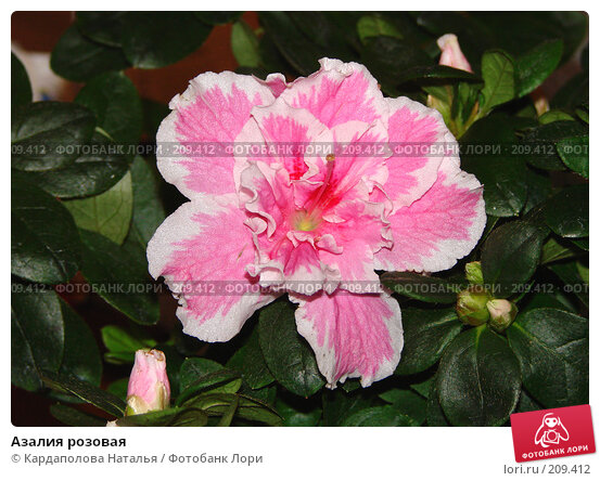 Азалия розовая, фото № 209412, снято 29 декабря 2007 г. (c) Кардаполова Наталья / Фотобанк Лори