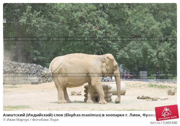 Купить «Азиатский (Индийский) слон (Elephas maximus) в зоопарке г. Лион, Франция», фото № 3669840, снято 12 июля 2012 г. (c) Иван Марчук / Фотобанк Лори