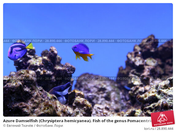 Купить «Azure Damselfish (Chrysiptera hemicyanea). Fish of the genus Pomacentridae», фото № 28890444, снято 18 апреля 2016 г. (c) Евгений Ткачёв / Фотобанк Лори