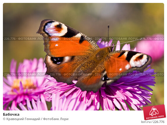 Купить «Бабочка», фото № 226776, снято 15 сентября 2005 г. (c) Кравецкий Геннадий / Фотобанк Лори