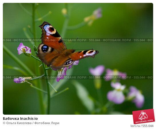 Купить «Бабочка Inachis io», фото № 555044, снято 17 августа 2008 г. (c) Ольга Киселева / Фотобанк Лори
